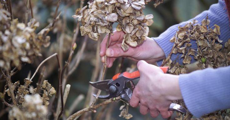 Beim Schneiden von Hortensien sind viele Hobbygärtner unsicher. Der Schnitt ist nicht schwierig, man muss nur die Hortensien-Art kennen. So werden Hortensien richtig geschnitten.