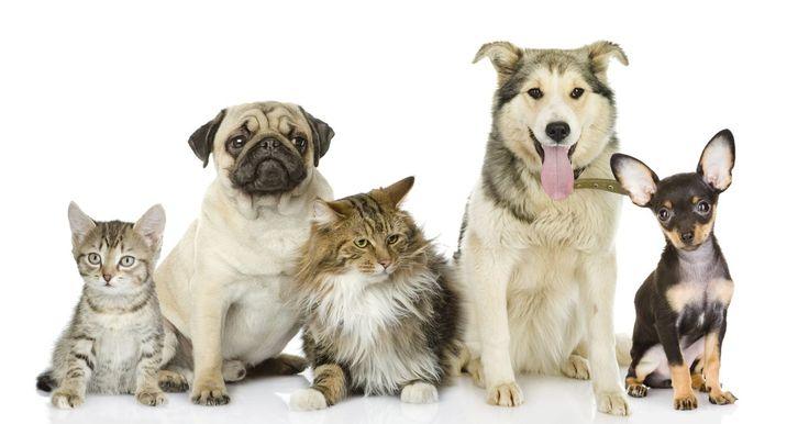 """Cómo diagnosticar una erupción en la piel de tu mascota. Las erupciones en la piel de las mascotas son comunes y a menudo causadas por los alimentos, el aire que aspiran o alergia al medioambiente, de acuerdo con """"El libro de los Doctores de los Remedios Caseros para Perros y Gatos"""". Al igual que los humanos, los animales domésticos experimentan alergias estacionales causadas por el exceso de polen, el ..."""