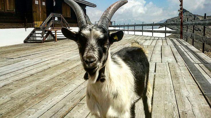 A goat on the Marmolada