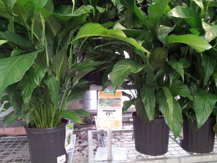 indoor plants home depot green thumb and garden stuff pinterest. Black Bedroom Furniture Sets. Home Design Ideas