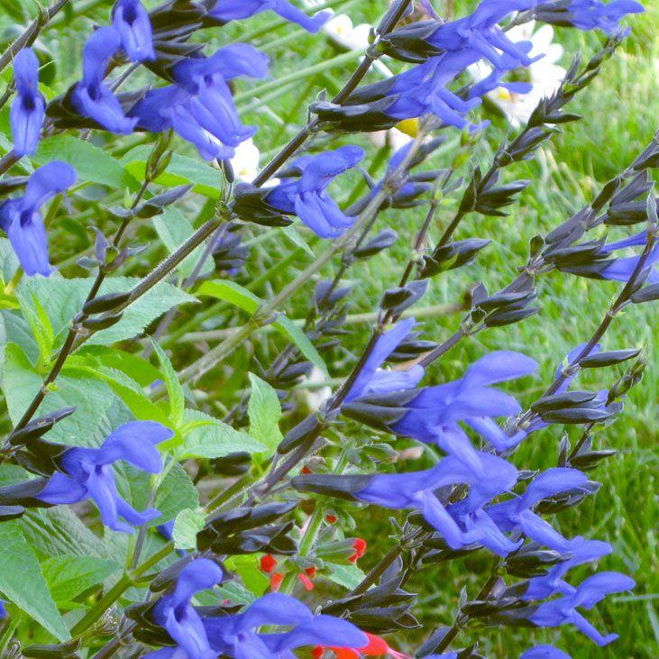 Google Image Result for http://butterflygardening.files.wordpress.com/2009/04/salvia-blackandblue.jpg