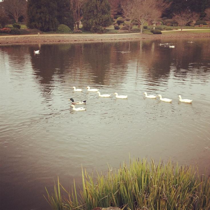 Students needing a study break at USQ Toowoomba can enjoy the Japanese Gardens and feeding the ducks.