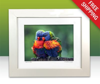 An award winning photograph of a pair of rainbow lorikeets. These two birds were snuggling up to each other, feathers all fluffed up on a rainy afternoon on my backyard fence. I just managed to capture them before my camera and I got a soaking.