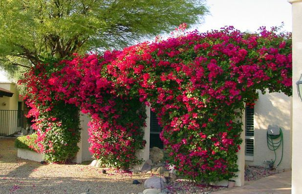 Bougainvillea Espalier Florida Landscaping Small Gardens Florida Plants
