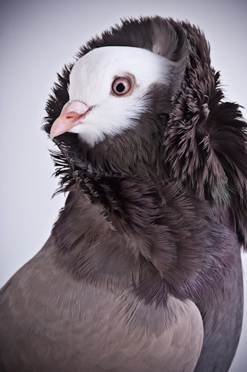 There are so many gorgeous breeds of pigeon out there.