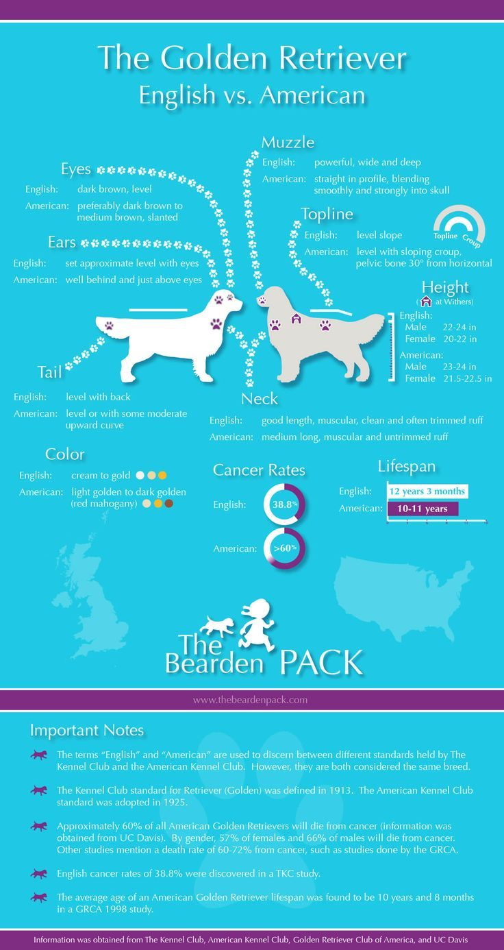 English vs. American Golden Retrievers...interesting graphic.