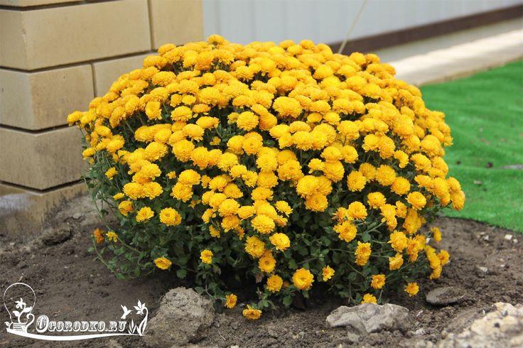Какие низкорослые цветы выбрать для клумбы    Мода, как известно, не стоит на месте. Она влияет на все стороны нашей жизни. И нет ничего удивительного, что сегодня, как никогда, популярны низкорослые цветы для клумбы. Они имеют много достоинств и, по справедливости, все чаще вытесняют высоко растущие растения http://ogorodko.ru. Их сегодня можно увидеть почти на любой клумбе. Благо, ассортимент таких цветов достаточно многообразен и включает, как однолетние, так и многолетние виды.    Для…