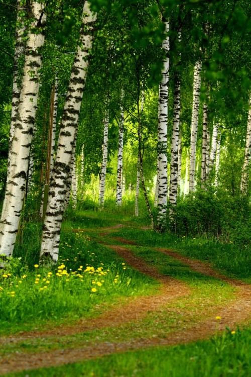 Birch Forest, Finland (photo via terri) #suomi