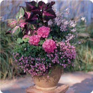 Archangel™ Orchid Pink Angelonia . Gaura lindheimeri Ballerina Rose ,Magilla® Purple Perilla , Romeo Bright Pink Diascia & Fantasia® Neon Rose Zonal Geranium