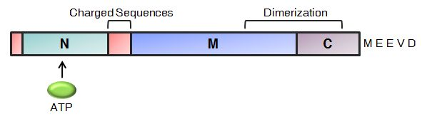 Domain Organisation of Hsp90