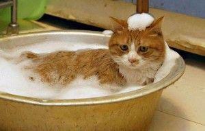 Правильный уход за домашними кошками. Часть вторая  Еще один важный момент – приучение кoшки к лотку. Привычка хoдить в туалет в специально отведенное мeсто должна формироваться как можно раньше, научить этому котенка относительно просто, подросшего же кота – практически невозможно.