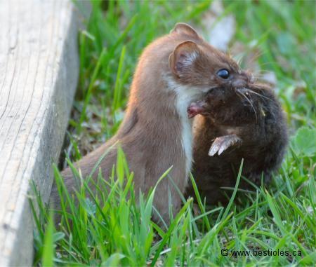 les 101 meilleures images propos de petits mammif res de sologne sur pinterest nids animaux. Black Bedroom Furniture Sets. Home Design Ideas
