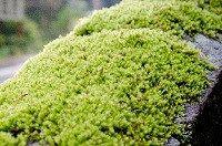 こんにちは。苔人(こけびと)です。 今回は苔園芸でおすすめの苔をご紹介します。ここで言う苔園芸とは、苔を観賞や…