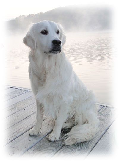 English Cream Golden Retriever  Would't be approved by AKC for show but beautiful