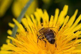 ABEJAS SOBRE AMARILLO - BEES ON YELLOW.