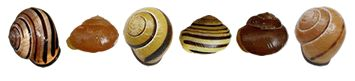 Banded snails - evolution