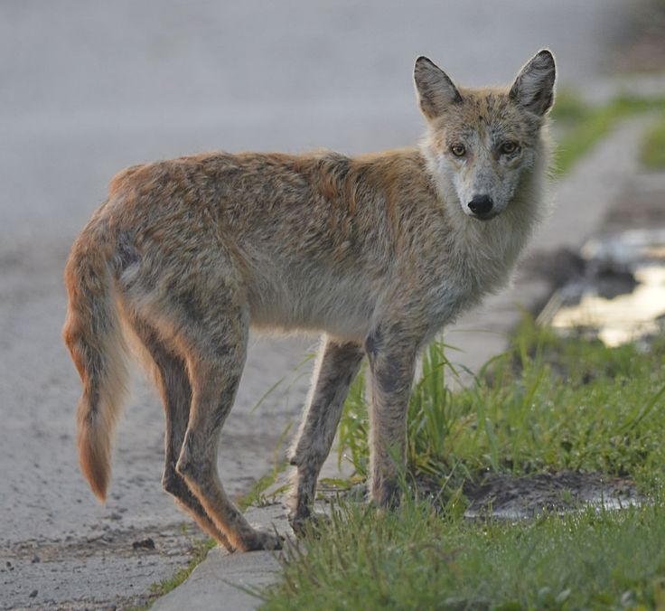 1271 Best Images About Old Man Coyote On Pinterest