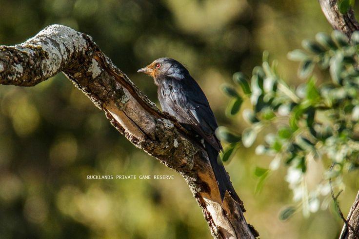 Fork-tailed Drongo, covered in Aloe pollen #birding #forktaileddrongo #drongo #aloe #bucklandsprivategamereserve