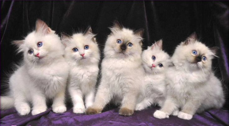 Cat Breed Photos - Ragdoll Cat Pictures - #ragdollcatbreeds -Tops Cat Breeds at Catsincare.com!