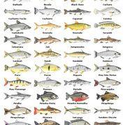 Arquivo peixes_agua_doce.jpg enviado por Sergio no curso de Engenharia Civil na UFSC. Sobre: Peixes do Brasil