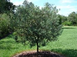 Pineapple guava tree can tollerate cold down to 12 degrees.