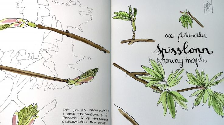 Acer pseudoplatanus - sketching spring.