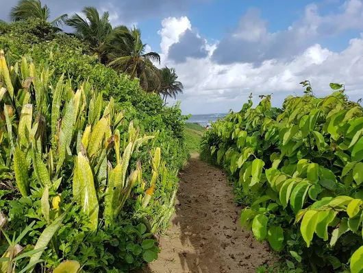 This verdant plant growth protects the sand dunes along Cabarete's beach from erosion.....hard working and beautiful - gotta luv Mother Nature's ingenuity! Take a walk on this wild side ....it's your front yard when you live here! www.our-dominican... photo credit to local photog aficionado, Frank Genoa - thx bud!