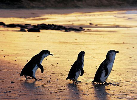Penquin Parade in Phillips Island, Melbourne Australia.   One of the highlights of my trip was my visit to Phillip Island.  The island is famous for their nightly penguin parade where the world's smallest penguins waddle in from their day hunting for fish in the ocean across the sandy beach to their burrowed homes among the hillside. A MUST SEE!!!!!