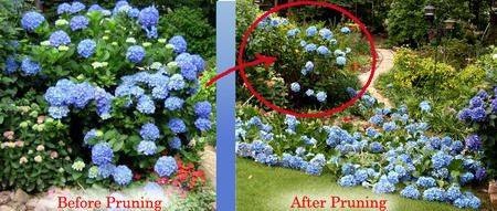 Prune your Hydrangea wisely so she will continue delighting you each spring.