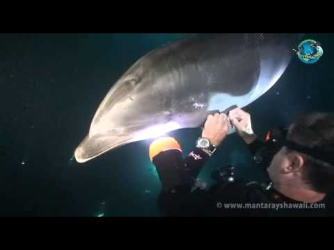 Dolphin seeks aid from diver. And people eat them... they are more intelligent than most people.