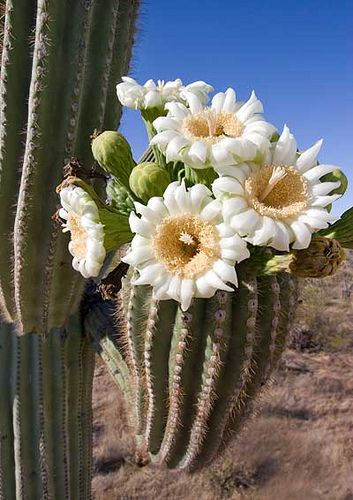 """The End of the Season,"" by Gerry Morgan, via Flickr. Saguaro flower season in the Arizona desert. Click through to read more about the saguaro fruit."