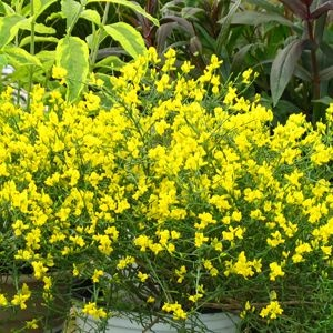Bangle™ Genista lydia 'Select' (Dyers Greenwood) - A more floriferous and longer blooming selection of Genista that produces waves of electric yellow flowers in early spring. After the spring bloom, this nearly leafless plant has bright green stems that provide interesting year round texture and color. Protect from rabbits in the winter.