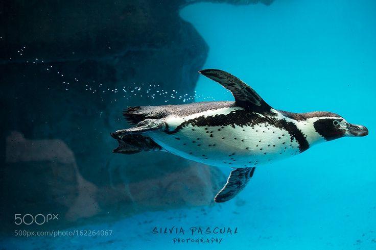 Penguin swimming underwater by spcoca