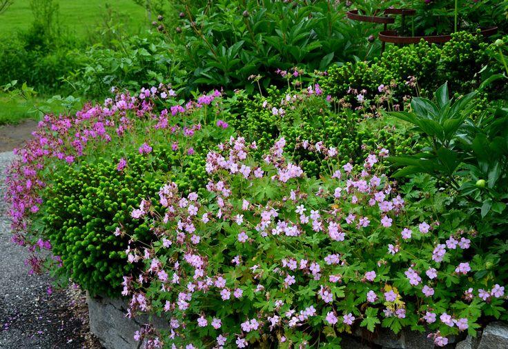 geranium macrorrhizum - leaves turn color