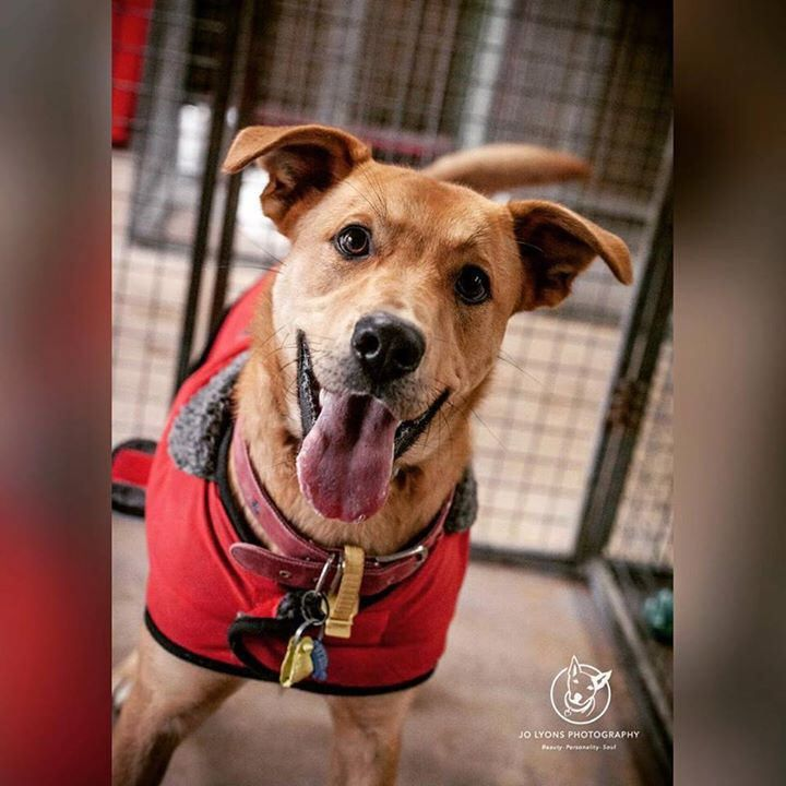 Simmo is described by Renbury staff as young, fun and loveable. Sadly his rescue backup has fallen through... and he is now on the urgent list. He was found wearing a red jacket so someone cares for him but they have not come looking for him. Please get t