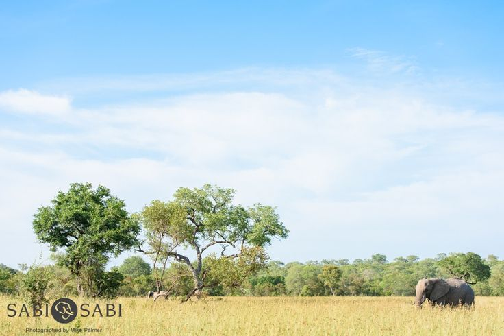 A wonderful scene as a young elephant bull meanders through an open area while feeding and following the rest of the herd.