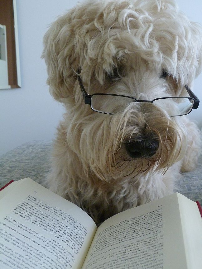 I love this picture! Looks a lot like my Wheaten, minus the glasses...haha  my reading dog <3  Irish Soft Coated Wheaten Terrier
