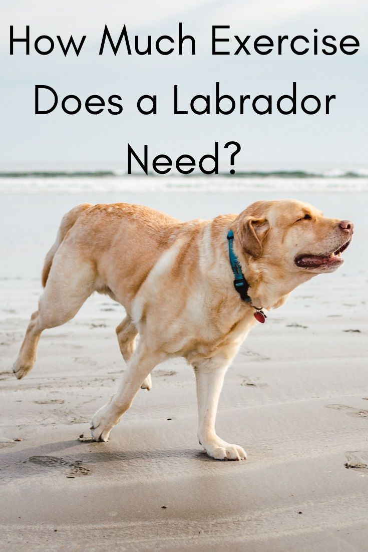 How Much Exercise Does A Labrador Need Dog Barking At Nothing