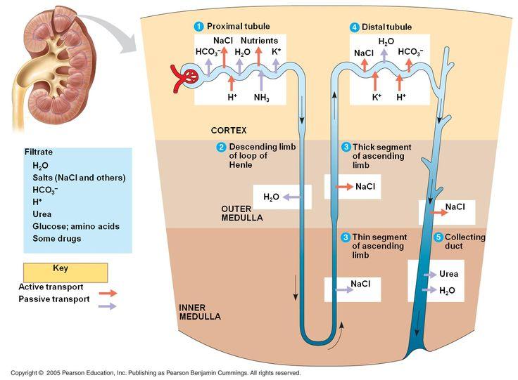 Nephron Function | Chapter 44: Osmoregulation and Excretion