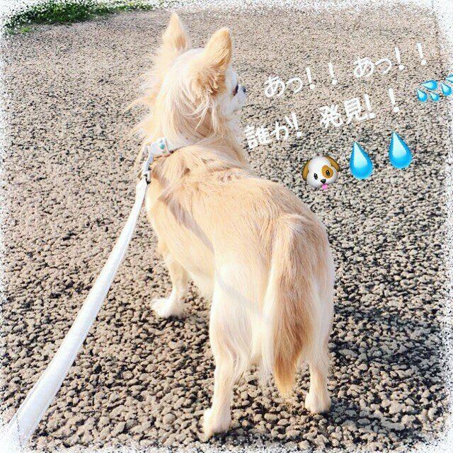 おはようございます꒰ ♡´∀`♡ ꒱ 金曜日꒰*✪௰✪ૢ꒱ あらら。。蓮さん!尻尾が巻いてますよ(笑) 散歩では いつもこう(笑) わんちゃんや子供ちゃん達がいたら ビビって動かない(笑) #おはようございます #goodmorning #金曜日 #friday #chihuahua #chihuahualife #chihuahualove #chihuahuastagram #チワワ #ちわわ #ロングコートチワワ #愛犬 #家の蓮 #癒し #可愛い #cute #cutedog #家族 #family #犬 #dog #dogstagram #instadog #びびり犬 #人見知り #ワン見知り #友達いない #一匹狼 #笑