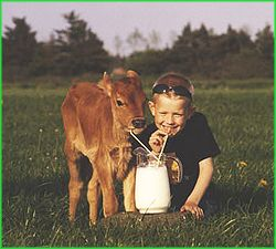 Mini Dairy cow for the Homestead! Milk, Cheese, Butter, Yogurt!! So getting one!
