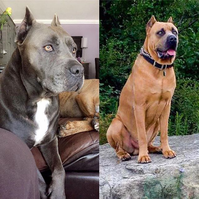 A side by side of Luna and her dad! I swear they are splitting image! They are so beautiful! 😍🐶😍🐶 #twinning #bandog #bandogge #presa #canecorso #neo #mastiff #mastiffsofinstagram #mastiffgram #dog #dogsofinstagram #beauties #ilovethem