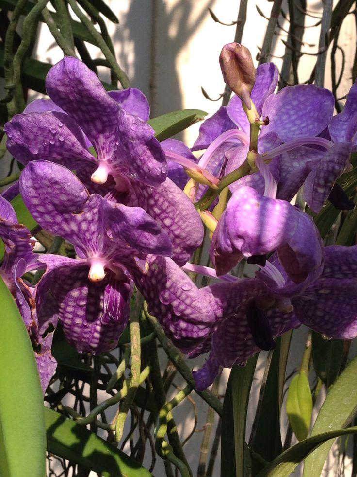 Violet plants
