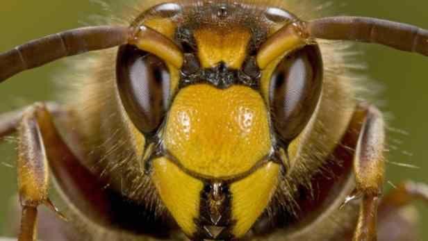 Nichts hilft gegen Wespen - außer Hornissen!
