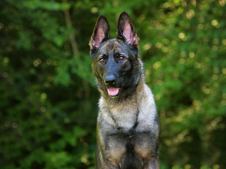 German Shepherd, Personal Protection Dogs for Sale | Protection Dogs Plus