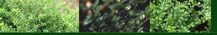 Japanse Hulst - Ilex crenata   Plant is goed geschikt voor een mooie lage haag. Deze soort is een beetje in opmars omdat op verschillende plekken de Buxus ziek worden. Deze soort heeft dat niet. Is een goede vervanger voor de buxus.