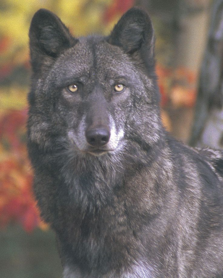 on All About Wolves  http://www.all-about-wolves.com/wp-content/gallery/free-wolf-photos-and-wallpaper/wolf_49_big.jpg