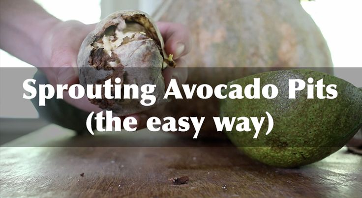 Discover the secrets to sprouting and growing avocados at home! It's not as difficult as you might think... It just takes patience! Tags: avocado planting, growing avocados, sprouting avocado pits
