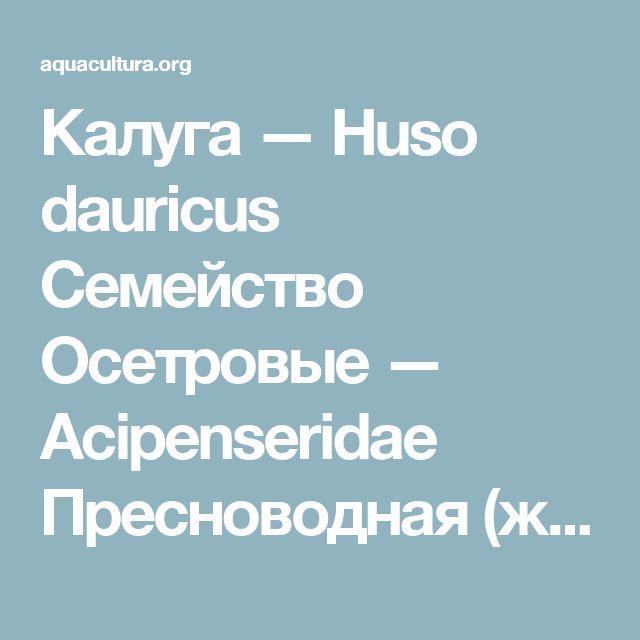 Калуга — Huso dauricus Семейство Осетровые — Acipenseridae Пресноводная (жилая) рыба. В лимане Амура обитает наиболее многочисленное местное стадо, для нагула заходит в солоноватые воды.  Ареал охватывает бассейн Амура, Амурский лиман, северная часть Татарского пролива, реки Уссури, Сунгари, Зея. В Амуре калуга поднимается до Аргуни, Шилки и Онона. В озеро Ханка заходит для нагула. Отмечена калуга также у северо-западного побережья Сахалина.  Жаберные перепонки, сросшиеся между собой…