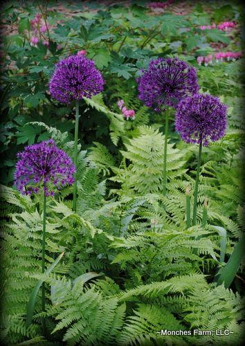 Allium 'Purple Sensation' with ferns  bleeding heart. Monches Farm, LLC